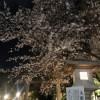 桜満開!東郷神社🌸